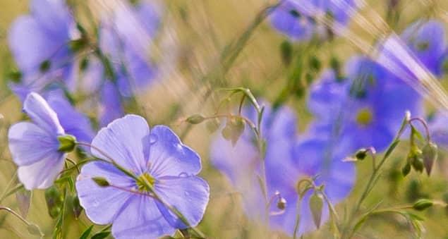 Leinenblüten in Lila-Blau