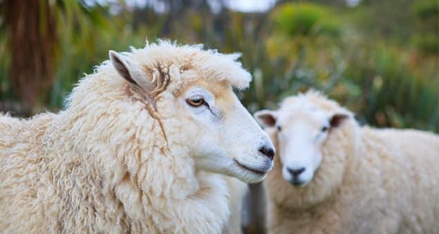 Wollschafe auf Weide